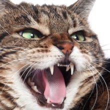 Kissan hampaat ja niiden hoito