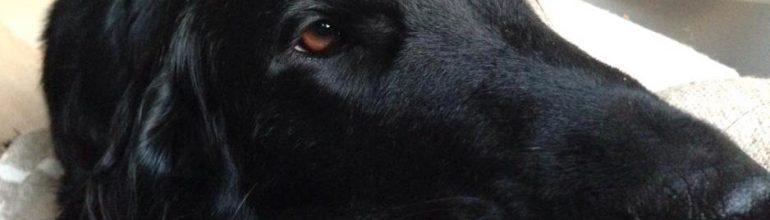 """Koiran sterilaatio – tähystämällä tai """"perinteisesti"""" avoleikkauksella"""