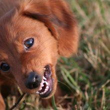 Koiran hampaat ja niiden hoito