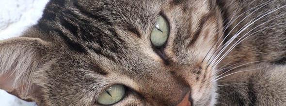 Kissan kasvainsairaudet