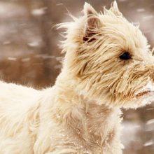Addisonin tauti koiralla – lisämunuaisen kuorikerroksen vajaatoiminta