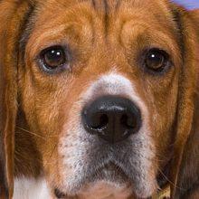 Cushingin tauti koiralla – oireet, riskit ja hoito