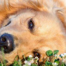 Ihon talirauhastulehdus ja surkastuma koiralla