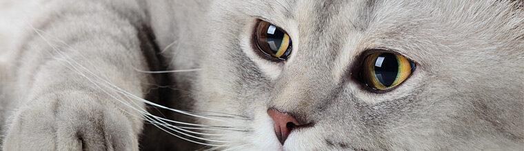Ikääntyvän kissan terveyden- ja sairauden hoito