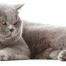Lihava kissa ja laihdutus