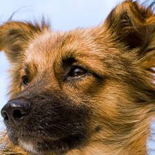 Leishmanioosi koiralla