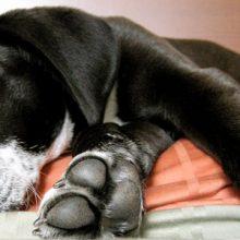 Narkolepsiaa esiintyy myös koirilla