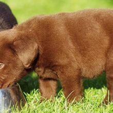 Orpojen koiranpentujen hoito