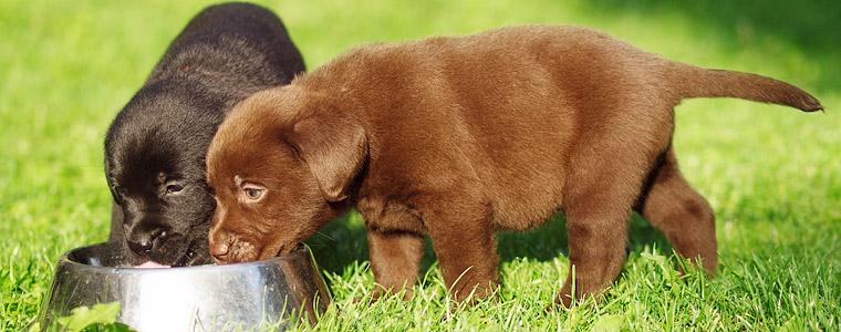 Orpojen koiranpentujen hoidossa tärkeimmät kolme seikkaa ovat lämpö, ruoka ja puhtaus.