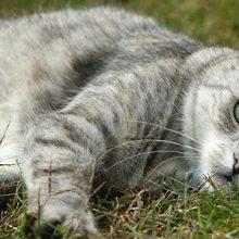 Pyruvaattikinaasipuutos koirilla ja kissoilla