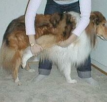 Koiran venyttely osana lihashuoltoa