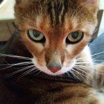 kissa oksentaa mahanestettä