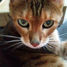 Faktoja kissan lymfoomasta