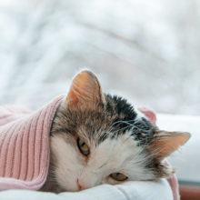 Kissan koronavirus ja tarttuva vatsakalvon tulehdus eli FIP.