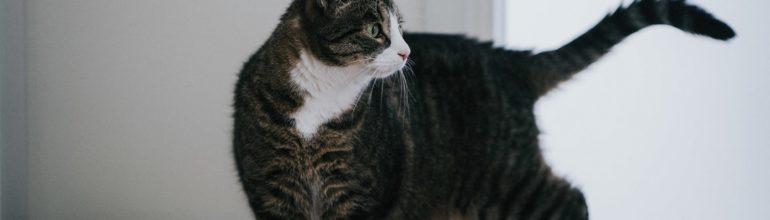 Kissojen kivun tunnistaminen; tieteellisesti tutkittu ja validoitu uusi Feline Grimace Scale