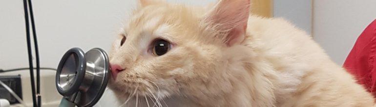 Hyperaldosteronismi – Lisämunuaisen sairaus kissalla