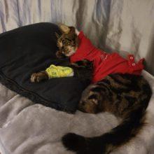 Kissan lisäkilpirauhasen kasvain; potilastapaus