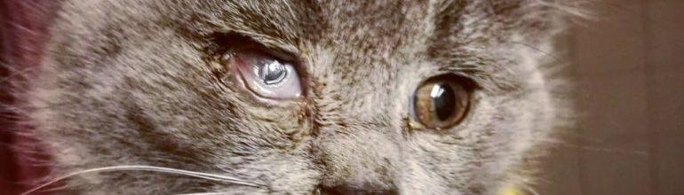 Adele kissa ja herpesviruksen aiheuttamat sarveiskalvo kiinnikkeet